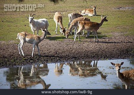 Herd, Goat, Roedeer
