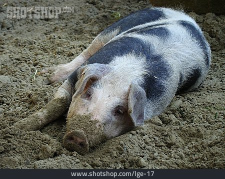 Pork, Domestic Pig