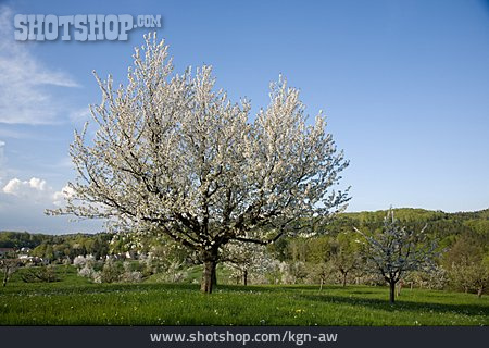 Apple Blossom, Tree Blossom
