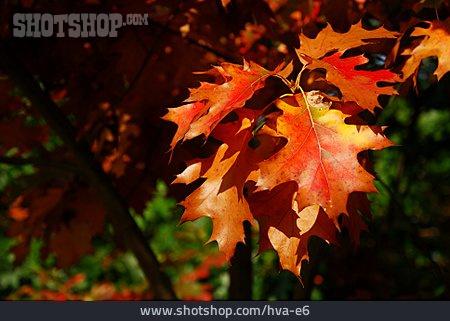 Autumn, Oak Leaf