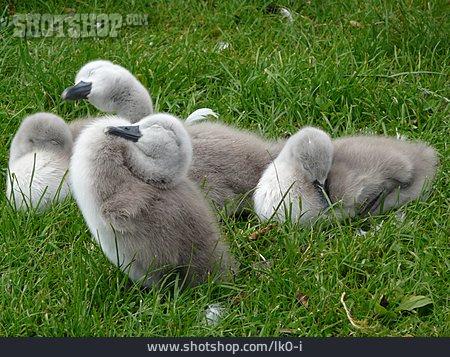 Chicks, Swan Chicks