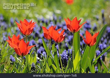 Tulip, Flower Bed, Tulip Bed