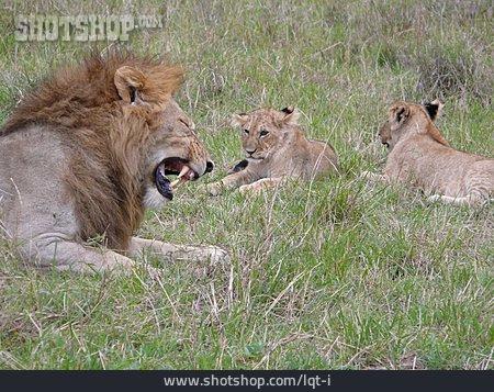 Animal Family, Lion