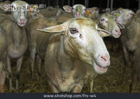 Sheep, Flock Of Sheep