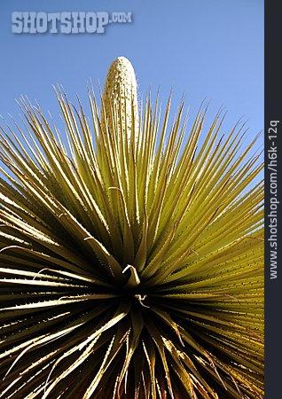 Inflorescence, Peru, Puya Raimondii