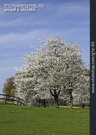 Cherry Tree, Cherry Tree Blossom