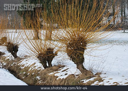 Osier, Pollarded Willow