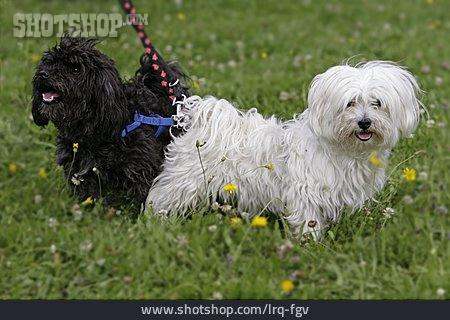 Two Animals, Dog, Malteser
