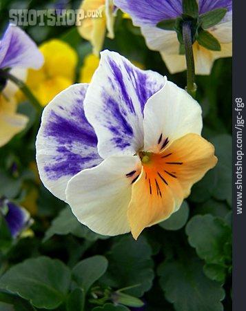 Pansies Flower, Wild Pansy