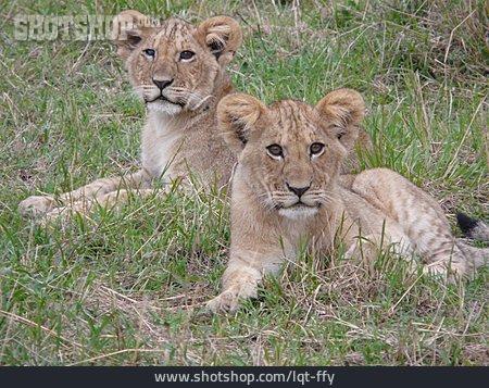 Young Animal, Lion