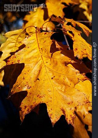 Oak Leaves, Oak Leaf