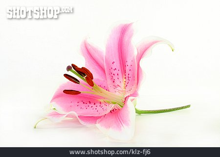 Lily, Lilies Bloom