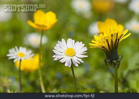 Flower Meadow, Spring Flower