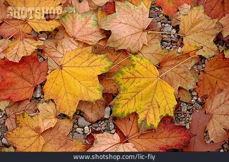 Autumn, Autumn Leaves, Maple Leaves