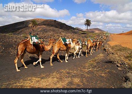 Lanzarote, Camel, Camel Train