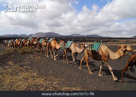 Lanzarote, Camel