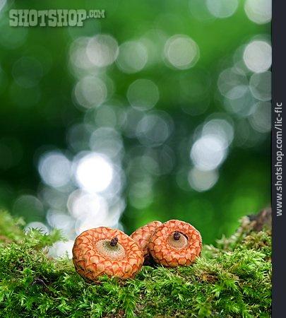 Moss, Acorn