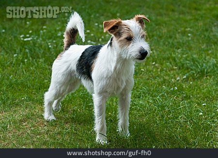 Dog, Jack Russell Terrier