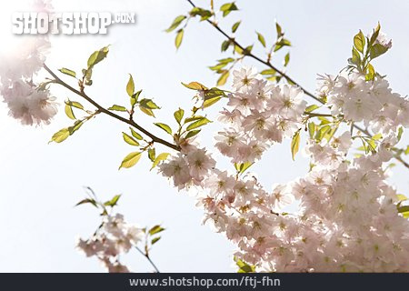 Cherry Blossom, Spring, Fruit Flower