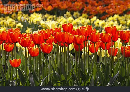 Tulip, Tulip Bed