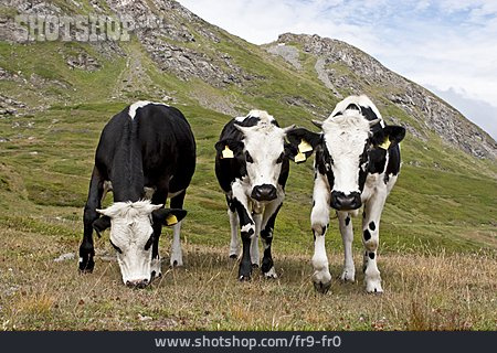 Cow, Dairy Cattle