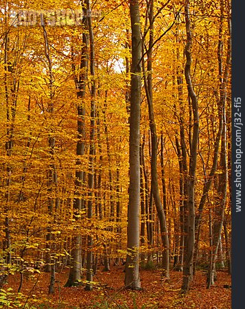 Autumn Forest, Deciduous Forest, Beech Grove
