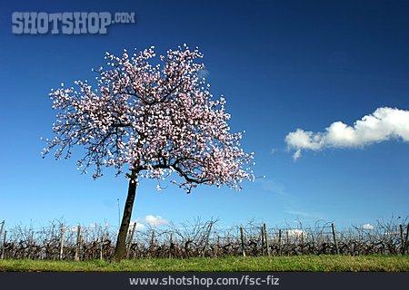 Almond Tree, Almond Blossom