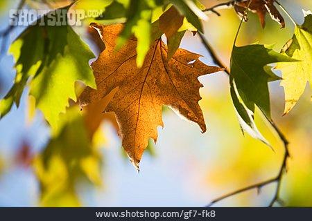 Autumn Leaves, Autumn, Maple Leaf
