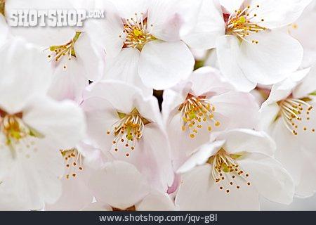 Blossom, Apple Blossom