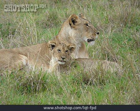 Lion, Lioness