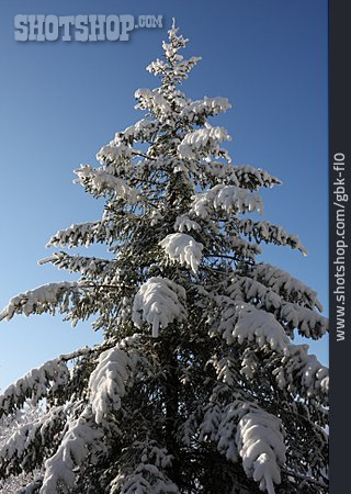Frost, Christmas Tree