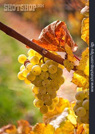 Grape, Vine, Viticulture