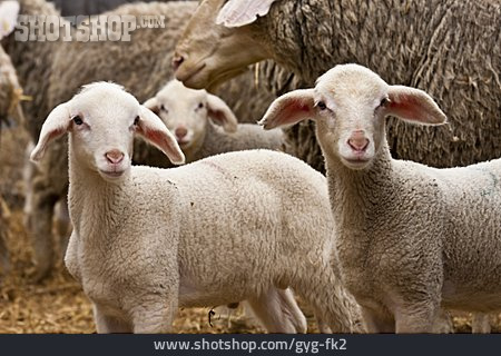 Lambs, Sheep Herd