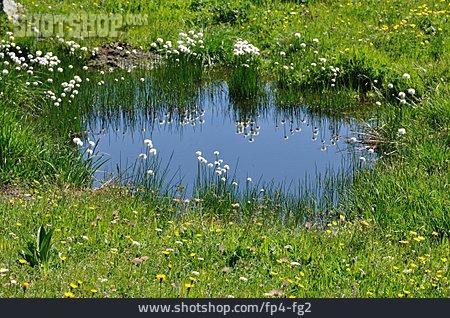 Pond, Cotton, Mountain Meadow