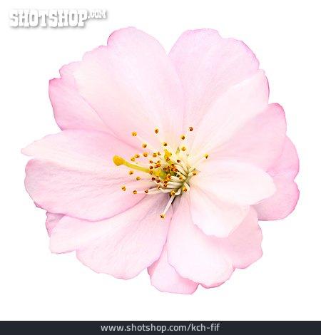 Blossom, Cherry Blossom, East Asian Cherry