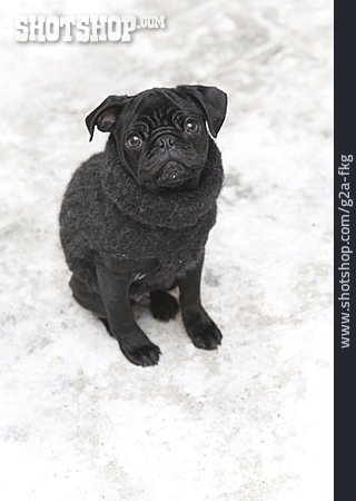 Dog, Pug