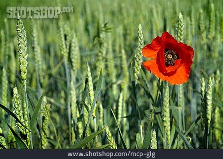 Wheat Field, Poppy Flower