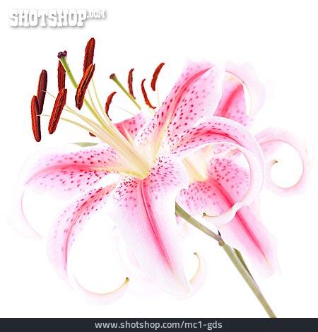 Flora, Lily, Stamens, Lilies Bloom