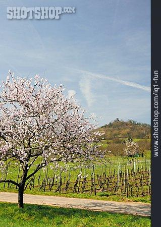 Spring, Almond Tree, Almond Blossom, Vineyard