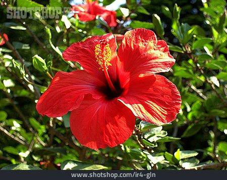 Hibiscus, Hibiscus Flower