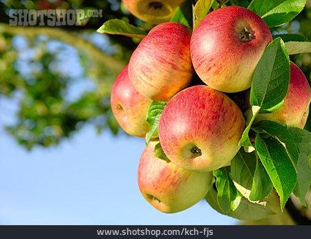Apple, Fruit Growing