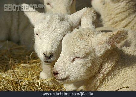 Two Animals, Lamb, Sheepfold