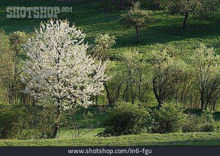 Spring, Tree, Cherry Tree