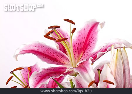 Anther, Pollen, Lily