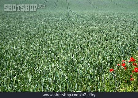 Wheat Field, Corn Field