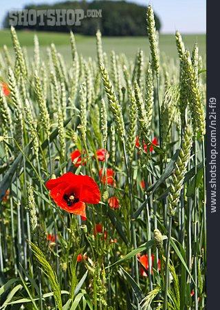 Poppies, Poppy Flower, Corn Field