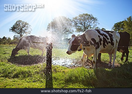 Cow, Cattle, Domestic Cattle