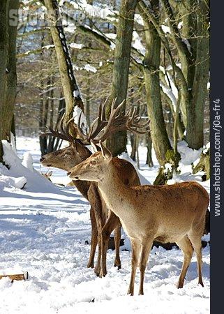 Deer, Red Deer