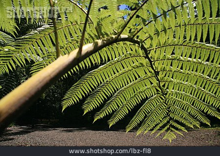 Tree Fern, Leaf