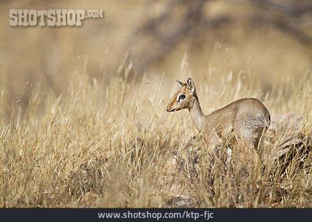 Africa, Antelope, Gazelle